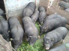 VAND PORCI VIETNAMEZI Lehliu - Anunturi agricole gratuite Vand, Vegetables, Pork, Veggies, Vegetable Recipes