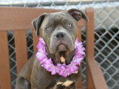 SAFE 7-23-2015 --- Brooklyn Center CAJUN – A1043013  FEMALE, BLUE / WHITE, AM PIT BULL TER MIX, 10 mos STRAY – ONHOLDHERE, HOLD FOR ID Reason NO ANSWER Intake condition EXAM REQ Intake Date 07/07/2015