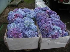 Fresh Periwinkle Hydrangea Wedding Bouquets