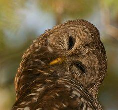 Owl-- cute!!! #BirdsofPrey #BirdofPrey #Bird of Prey #LIFECommunity