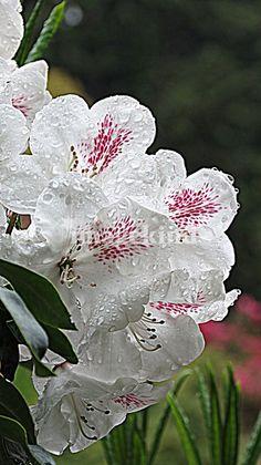 White Blooms   LORI MOORE