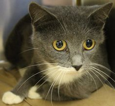 Intake: 9/15 Available: 9/21 NAME: Pixie  ANIMAL ID: 29651278  BREED: DSH  SEX: Female  EST. AGE: 1 yr  Est Weight: 6.1 lbs  Health:  Temperament: Friendly ADDITIONAL INFO:  RESCUE PULL FEE: $39
