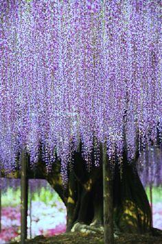 """ http://indigo—soul.tumblr.com/ Giant Wisteria - Ashikaga Flower Park in Tochigi, Japan """