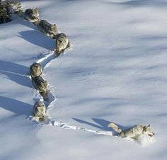 Wolves ( Denali National Park Alaska )