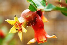 little pomegranates after summer rain