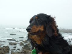 Long Haired Miniature Dachshund Phoebe At New Plymouth Nz In