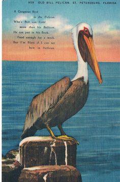 Vintage Old Bill Pelican, St. Petersburg. Florida Linen Postcard Uncirculated
