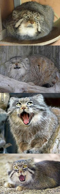 OK, after viewing this set of photos, I honestly believe that the Manul Cat has the weirdest/creepiest/funniest facial expressions of any feline (and quite possibly of any creature on the planet, lol!)