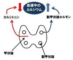 甲状腺、甲状腺ホルモン、副甲状腺、カルシトニン