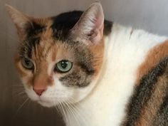 Meet Leia, an adoptable Domestic Short Hair looking for a forever home. Leia Cat • Domestic Short Hair Mix • Senior • Female • Small Williamson County Regional Animal Shelter Georgetown, TX