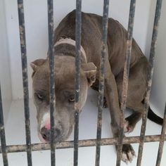 12/29/16-Houston - ** watch my video and take me home with you!!**This DOG - ID#A474197 I am a female, gray Pit Bull Terrier. The shelter staff think I am about 2 years old. I have been at the shelter since Dec 19, 2016. Harris County Public Health and Environmental Services. https://www.facebook.com/harriscountyanimalshelterpets/videos/1364587906938337/