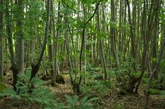 Coppicing is an ancient form of woodland management, that involves repetitive felling on the same stump, near to ground level, and allowing the shoots to regrow from that main stump. (Also known as the coppice stool)