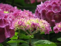 Stunning Flowers and Inspiring Quotes to Brighten Your Day Hydrangea Bloom, Hydrangea Flower, Green Garden, Garden Plants, Growing Flowers, Planting Flowers, Garden Works, Exotic Beauties, Lush Green