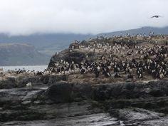 penguins - Canal de Beagle, Ushuaia, Tierra del Fuego, Argentina
