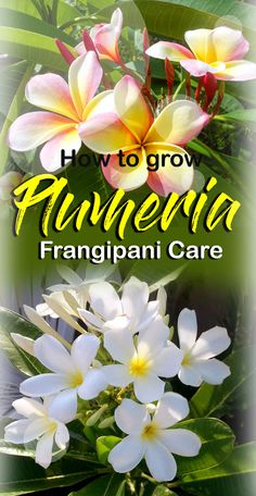 How To Grow Plumeria | Growing Plumeria in containers | Frangipani care Plumeria Care, Plumeria Flowers, Tropical Flowers, Tropical Plants, Growing Tree, Growing Flowers, Planting Flowers, Potted Flowers, Container Plants