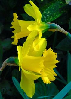 Daffodils at duffryn fleurs pinterest daffodils and flowers mightylinksfo Image collections