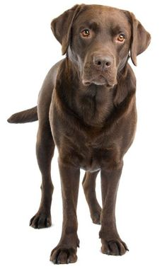 "Labrador retrievers, or ""Labs"" as they've become fondly known, are one of the most popular dog breeds of our time. Brown Labrador, Chocolate Labrador Retriever, Labrador Puppies, Raza Labrador, Lab Puppies, Cute Puppies, Cute Dogs, Golden Retrievers, Labrador Retrievers"