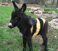 Chapel Hill Farm Mini Donkeys - Miniature baby Donkey Texas