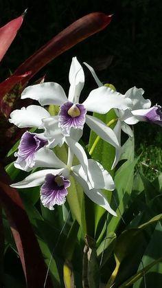 Laelia purpurata var Werckauseri,native to Brazil Botanical Flowers, Exotic Flowers, Beautiful Flowers, Rare Orchids, White Orchids, Orchids Garden, Orchid Plants, Blossom Flower, Gardening
