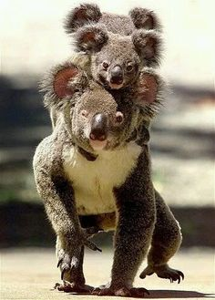 All aboard! Koala carrying her cubs on her back in Australia Cute Creatures, Beautiful Creatures, Animals Beautiful, Nature Animals, Animals And Pets, Wild Animals, Strange Animals, Cute Baby Animals, Funny Animals