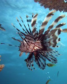 Autres noms : Poisson lion, rascasse poule. Appartient à l'ordre des Scorpaeniformes et à la famille des Scorpaenidés. Il existe environ trois cent espèces de rascasses dans les différentes mers du monde. Très dangereuses au touché, elles sont porteuses...