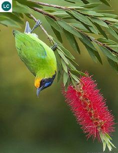 """https://www.facebook.com/WonderBirdSpecies/ Golden-fronted leafbird (Chloropsis aurifrons); India, Sri Lanka, and parts of Southeast Asia; IUCN Red List of Threatened Species 3.1 : Least Concern (LC)(Loài ít quan tâm) <("""") Chim xanh trán vàng; Ấn Độ, Sri Lanka và một phần Đông Nam Á; Họ Chim xanh-Chloropseidae (Leafbirds)."""