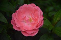 Pernille Poulsen  ruusu