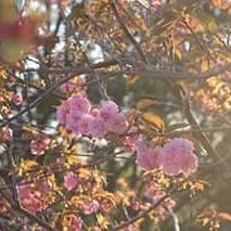 【louloumassey】さんのInstagramをピンしています。 《More prettiness through my lens caught on Victoria in spring #Victoria #spring #cherrytree #cherryblossoms #blossoms #photography #romantic #goldenhour》