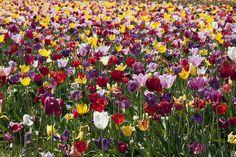 Tulip Festival | Flickr - Photo Sharing!