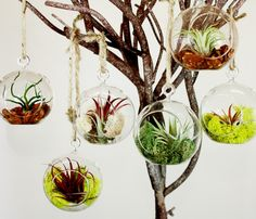 Hanging Globe Terrarium: Perfect gift for a college student or anyone who likes natural beauty that needs minimal care and upkeep. Air plants gather all their nutrients from the air. They are the only plants that don't need any soil. The terrarium includes one air plant and the decorative element of your choice. $19.99