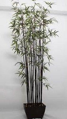 40 Black Bamboo Seeds Phyllostachys Nigra Very Striking for Bonsai or Landscape Phyllostachys Nigra, Bamboo Seeds, Garden Projects, Garden Ideas, Black Bamboo, Exterior Design, Bonsai, Planters, Backyard