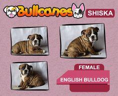 MINIATURE ENGLISH BULLDOG PUPPIES FOR SALE  SHISKA - Female http://www.bullcanes.net info: bullcanes1@hotmail.com / ceo@bullcanes.net WhatsApp + 573113547995