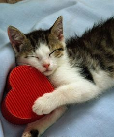 60 Best Valentine S Day Cats Images Baby Cats Cats Kittens