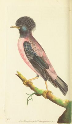 Rose Colored Ouzel - v.7 - The naturalist's miscellany, or Coloured figures of natural objects - Biodiversity Heritage Library