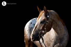 Appaloosa gelding in front of black background without any flash setup. it's all about your camera settings - enjoy it