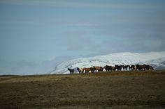 Islandpferde in Island