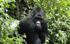 Στη λίστα με τα απειλούμενα είδη ο γορίλας / In the list of endangered species the gorilla
