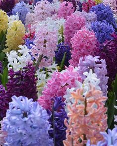 """25 Hyacinth Bulbs """"Empire State Hyacinth Mix""""  - 12-16"""" Ht.  Early-Mid Spring - Pt. Shade/Full Sun.  dutchbulb.com (5 different colors)"""
