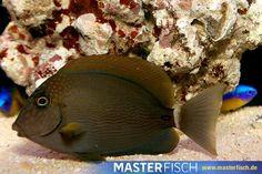 Punktgesicht-Doktorfisch - Acanthurus Maculiceps - Aquarientiere auf MasterFisch online kaufen Fish, Pets, Animals, Fish Fin, Types Of Animals, Animales, Animaux, Pisces, Animal