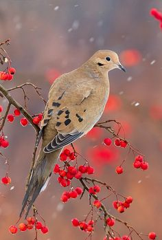 Mourning Dove (Zenaida macroura). A widespread North American dove with beautiful muted coloration. photo: Matthew Studebaker.