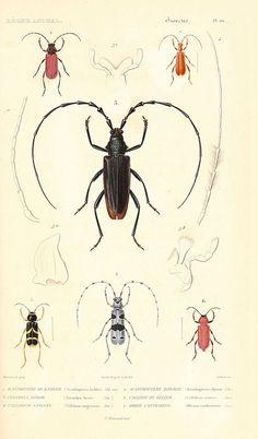 ooksaidthelibrarian:  n32_w1150 by BioDivLibrary on Flickr. Via Flickr: Le règne animal distribué d'après son organisation. v.6-7. pt.2. Atlas Paris :Fortin, Masson et cie,[1836-49]biodiversitylibrary.org/page/4234652
