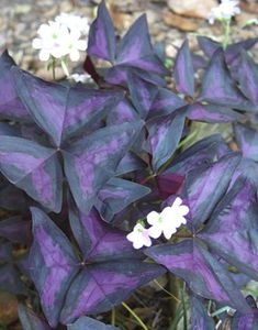 Oxalis regnellii 'Triangularis' (Purple and Black False Shamrock)