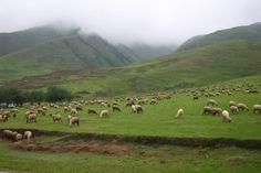 Rebaño pastando en Potrerillos - Tafì del Valle