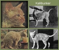 KALLIBUNKER | Bodmin Moor, Cornwall: 'Photos on the right are Kallibunker, the red cat on the left may be another rex from the early years of the breed. This first curly coated ancestor was born 21 July 1950. Kallibunker was one of five kittens born to tortie female Serena, an ordinary farm cat. The father could have been Serena's red brother. Some years later Mrs Nina Ennismore had financial difficulties, and Serena and Kallibunker were put down.'     ✫ღ⊰n Cornish Rex Cat, 21 July, Red Cat, Cat Breeds, Cornwall, Goats, Kittens, Brother, Curly