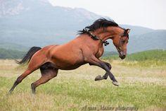 Арабская - фотографии - equestrian.ru