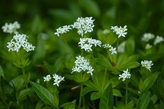 Sweetscented bedstraw