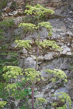 Peucedanum verticillare Hardy Plants, Small Gardens, Landscape Architecture, Perennials, Seeds, Inspired, Plants, Little Gardens, Perennial