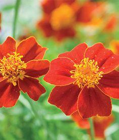Marigold, Scarlet Starlet