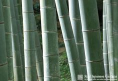 Mōsō bamboo 孟宗竹 in the Zen temple Hōkoku-ji in Kamakura. Click though to get to the eBook! | Real Japanese Gardens