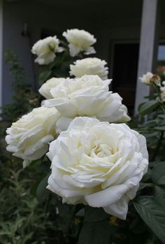 Meaning of the white rose you were so eager to know pinterest meaning of the white rose you were so eager to know pinterest rose flowers and gardens mightylinksfo